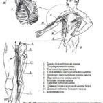 Краниальная остеопатия (стр. 81-100)